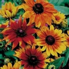 Rudbeckia Autumn colours - 30 seeds